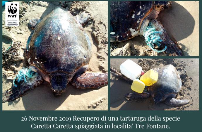 Recuperata a Tre Fontane una tartaruga della specie caretta caretta